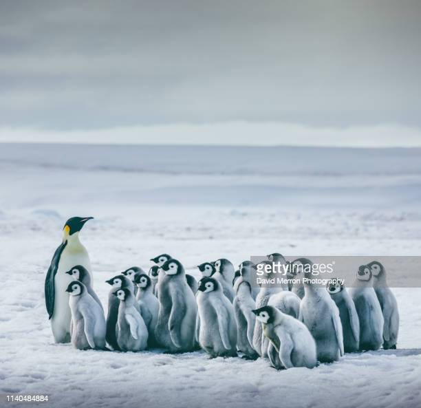 class in session - emperor penguin chick stock pictures, royalty-free photos & images