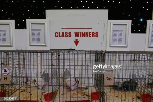 Class winning pigeons are exhibited on the first day of the annual British Homing Pigeon World Show of the Year at Blackpool Winter Gardens on...