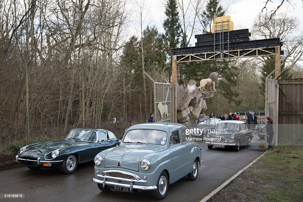 Classic cars enter Longleat on March 30, 2016 in Wiltshire, England. This year Longleat marks the 50th anniversary of its ground-breaking safari park. In 1966, the park, set in the grounds of the Wiltshire stately home, became the first of its kind to open outside of Africa.