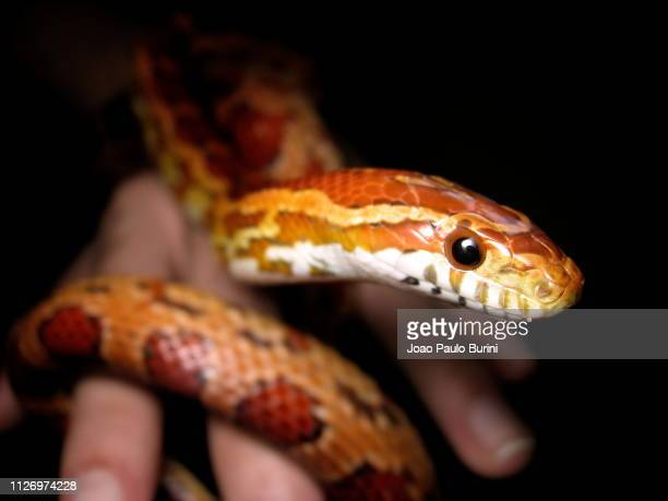 classic corn snake being handled - corn snake stock pictures, royalty-free photos & images