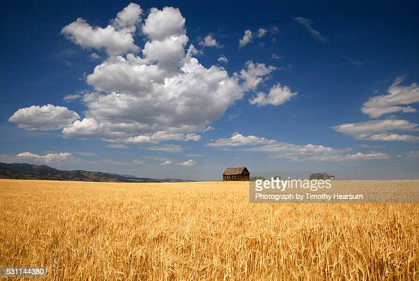 classic farm buildings sit on the horizon with field of wheat in foreground, clouds and sky beyond - timothy hearsum stock-fotos und bilder