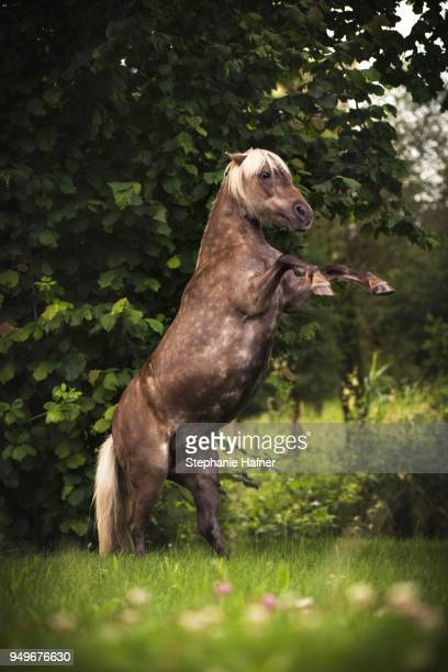 Classic Pony (Equus), mare rising in front of bush, Germany