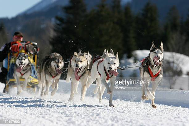 classic sled - dog sledding stock photos and pictures