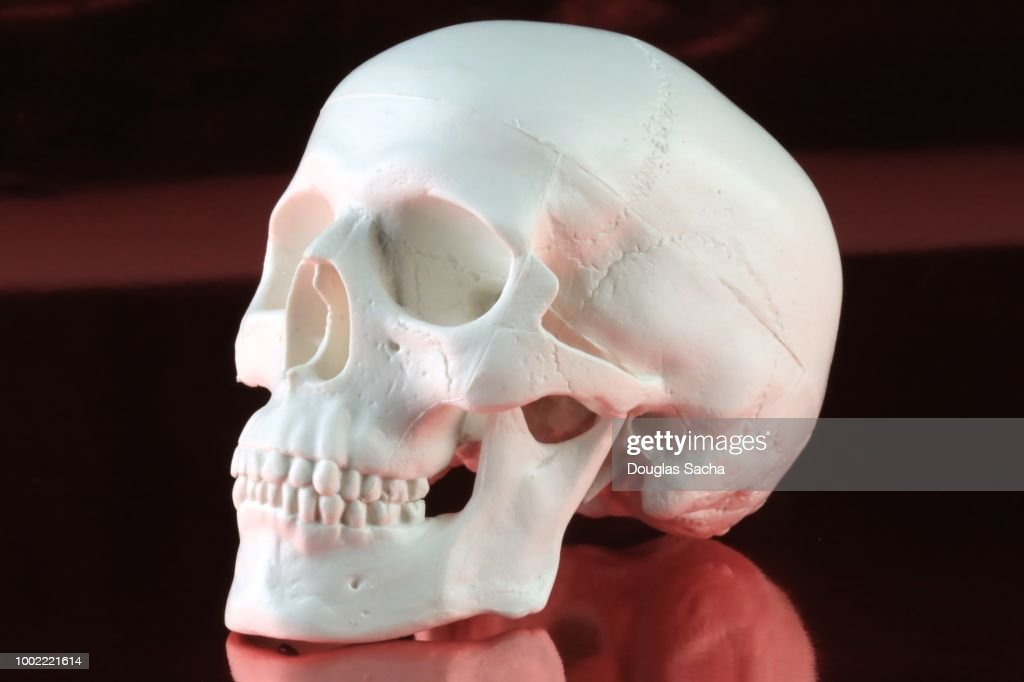 Classroom Skull Model On A Red Background Stock Photo Getty Images