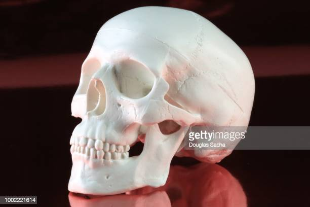 Classroom Skull Model on a red background