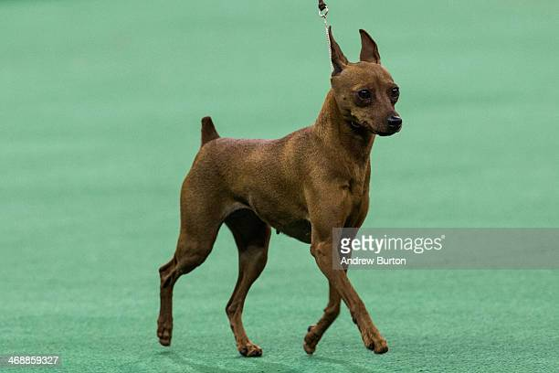 Miniature Pinscher Stock Photos And Pictures