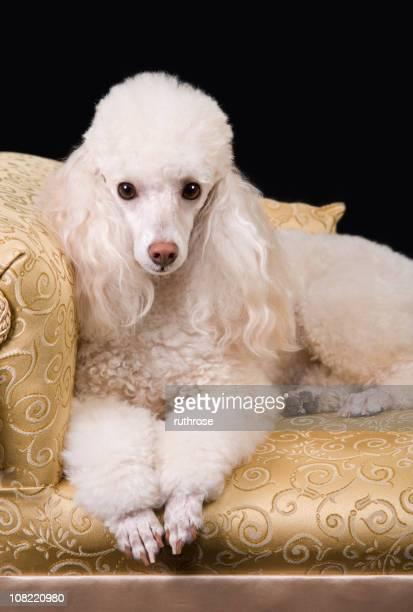 elegante de poodle - poodle - fotografias e filmes do acervo