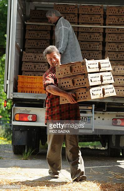 Claude Lataillade carries boxes full of ducklings at his farm in Bidache, southwestern France, on May 23, 2016. In the Basque Country, duck breeders...