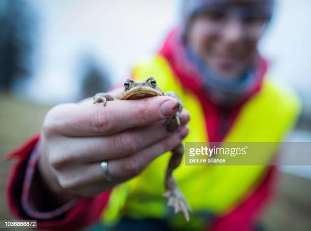 Claudia Scholz , Mitglied im Naturschutzbund Deutschland , hat am bei Reichelsheim im Odenwald entlang eines Fangzauns an der B47 für Kröten und...