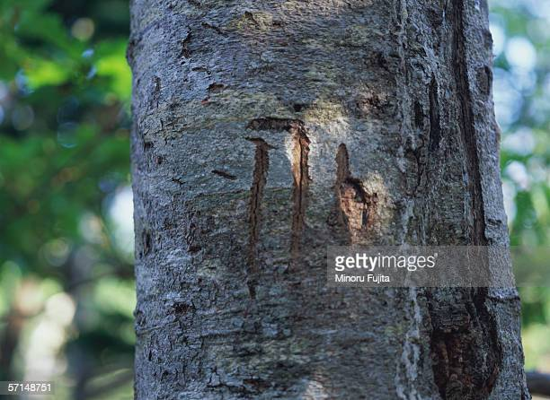 claw mark of bears on tree trunk - bear tracks stock pictures, royalty-free photos & images
