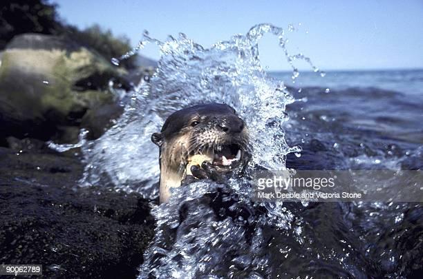 clawless otter aonyx capensis lake tanganyika, tanzania