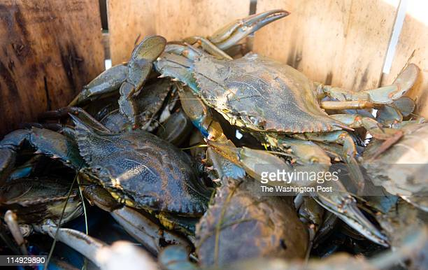 Clayton says he is sure the price of crabs will go up as the oil spill continues to affect the Gulf Coast but he's not sure watermen will pocket much...