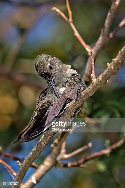 clean hummingbird - crmacedonio imagens e fotografias de stock