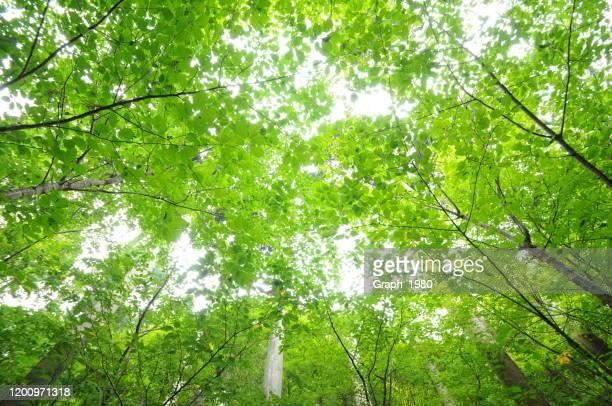 clean image of a fresh leaf - 青々とした ストックフォトと画像