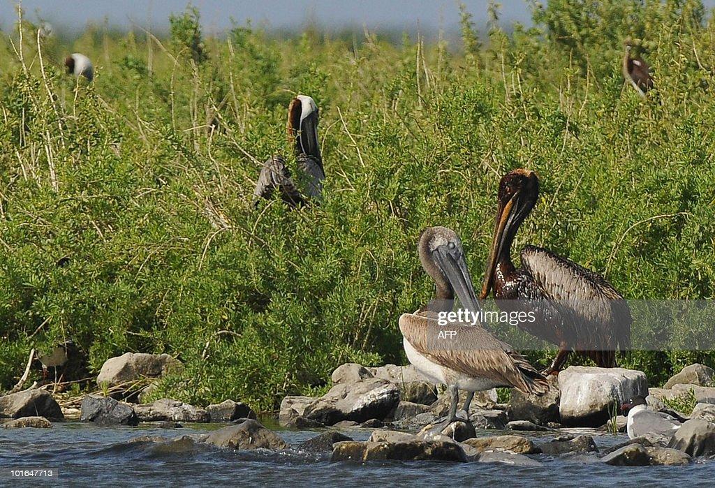 A clean pelican stands next to an oil soaked pelican on Queen Bess Island off of Grand Isle, Louisiana, June 5, 2010. The US government will respond to complaints that not enough people are tasked with rescuing creatures soaked in oil from the Gulf of Mexico spill, a top US official pledged June 4. AFP PHOTO/Cheryl GERBER