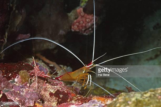 cleaner and dancing shrimp - ilha de mabul imagens e fotografias de stock