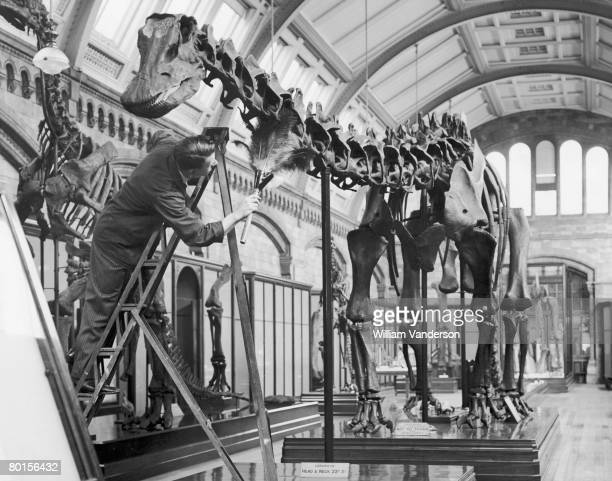 Cleaner dusts a cast of a dinosaur skeleton at the Natural History Museum in London, 12th November 1936. The cast was made from the D. Carnegiei...