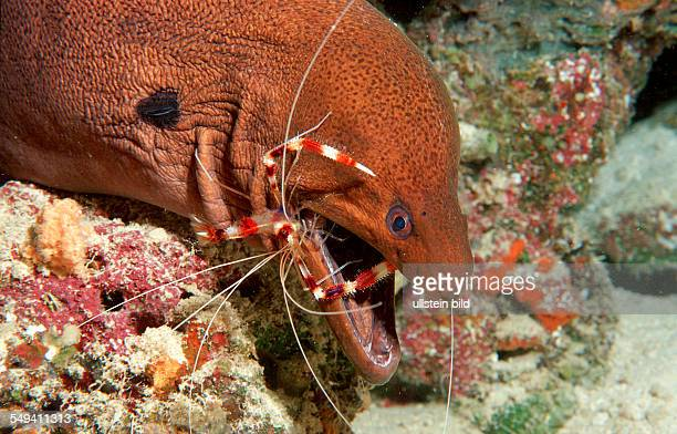 Cleaner shrimp cleaning Yellowmargined moray Stenopus hispidus Gymnothorax flavimarginatus Maldives Island Indian Ocean