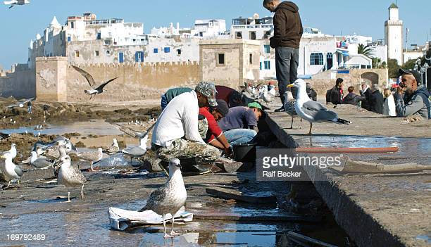 CONTENT] cleaning fish after coming back from the rough sea In Essaouira at the western coast of Morocco Doves are all over
