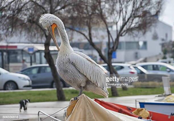 cleaning time for a dalmatian pelican - emreturanphoto stockfoto's en -beelden
