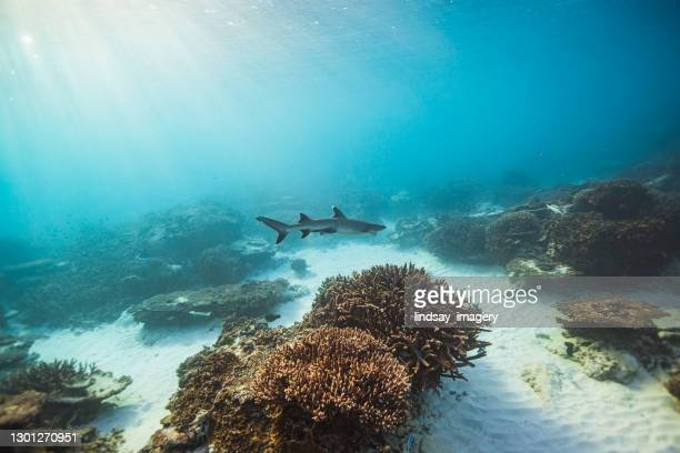 clear blue ocean with reef shark swimming over coral ecosystem - reef shark stock pictures, royalty-free photos & images