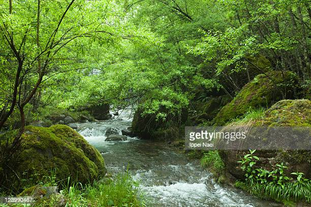 Clear river stream in lush forest, Nagano, Japan