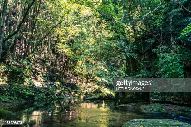 clear water flowing quietly through the forest. the water surface captures the forest like a mirror. - 生い茂る ストックフォトと画像