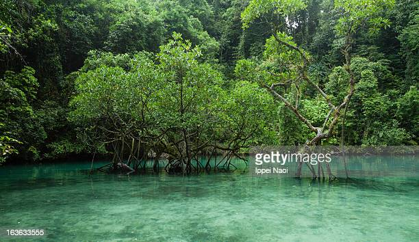 Clear water tropical lagoon with mangrove trees
