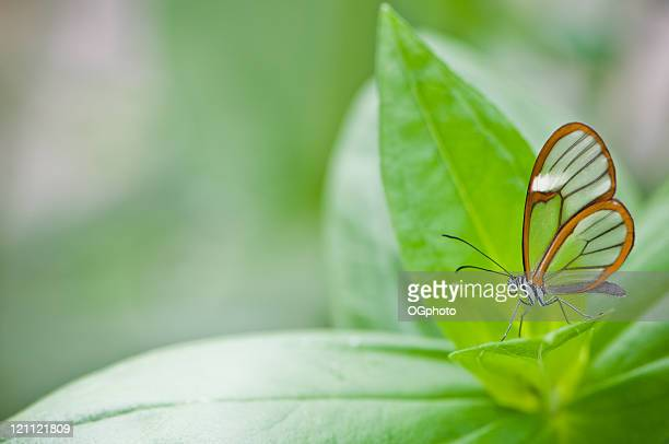clear wing butterfly (greta oto) - ogphoto stock photos and pictures