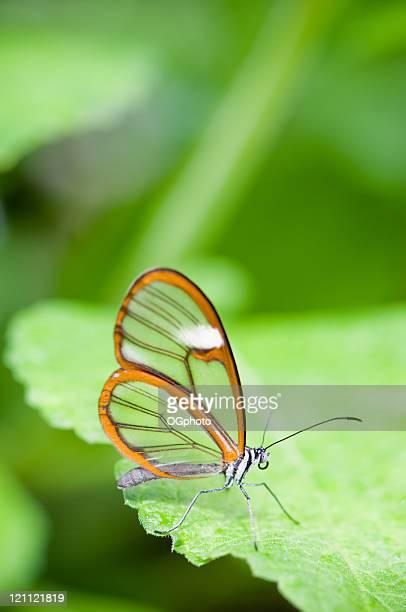 clear wing butterfly (greta oto - ogphoto stock-fotos und bilder
