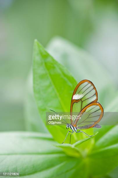 clear wing butterfly (greta oto) - ogphoto stock pictures, royalty-free photos & images