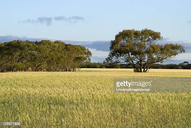 Cleared farmland adjacent to remnant bushland on remote farm in evening light Huckstep farm Beacon NE Wheatbelt Western Australia