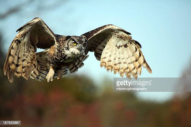 cleared for landing - great horned owl stock pictures, royalty-free photos & images