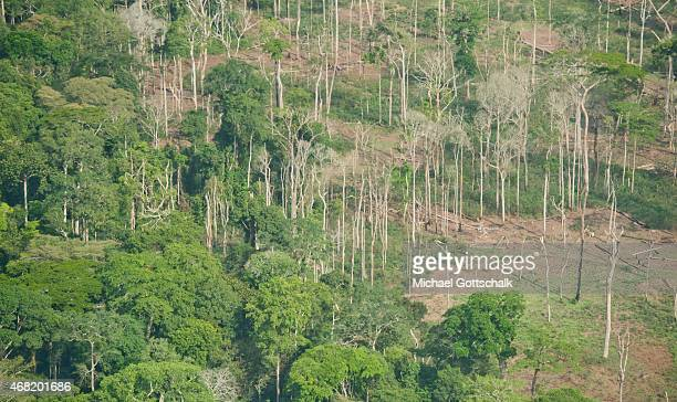 Cleared Rain Forest with Trunks of trees without leaves on March 13 2015 in Yaounde Cameroon