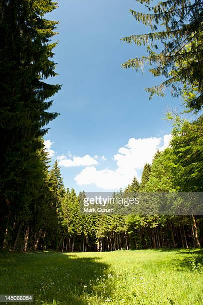 A clearing amongst a forest of pine trees, Wolfratshausen, Germany