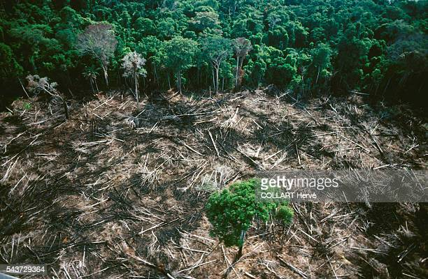 Clearing the forest destroys for ever the fragile equilibrium of water, mineral and organic matter. The Amazon rainforest is under threat and...