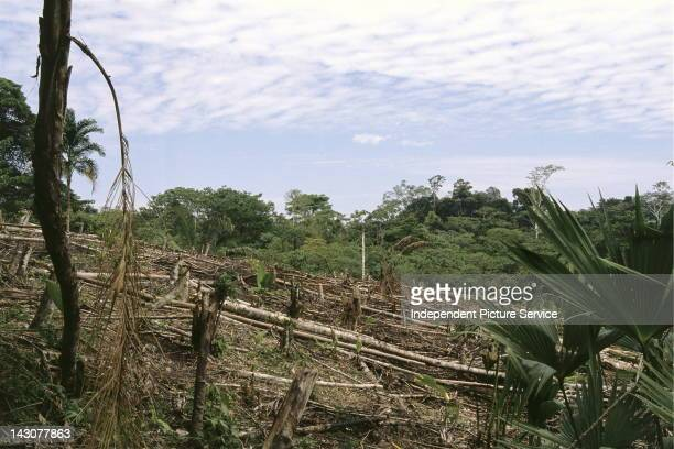 Clearing trees in the Amazon Region of Peru
