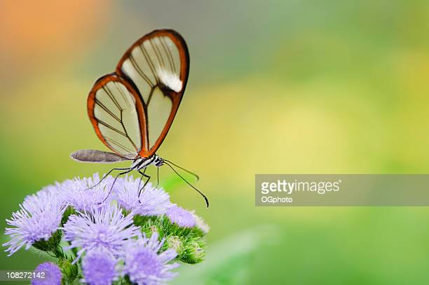 clearwing butterfly (greta oto) - ogphoto stock pictures, royalty-free photos & images