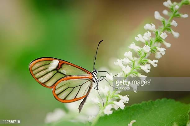 clearwing butterfly (greta oto) - ogphoto bildbanksfoton och bilder
