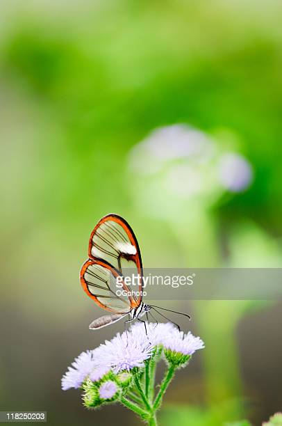 clearwing butterfly (greta oto) - ogphoto stock photos and pictures