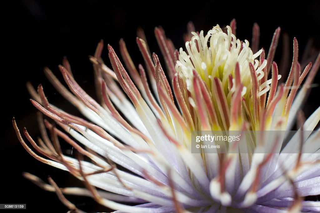 Clematis flower close-up : Stock Photo