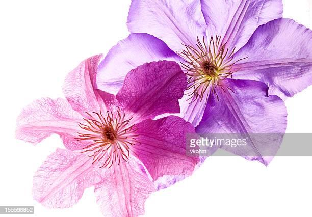 Waldrebe Blumen