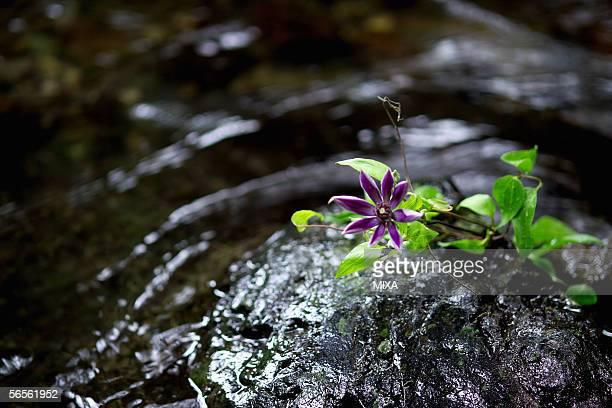 clematis (clematis florida) on a rock - wabi sabi stock pictures, royalty-free photos & images