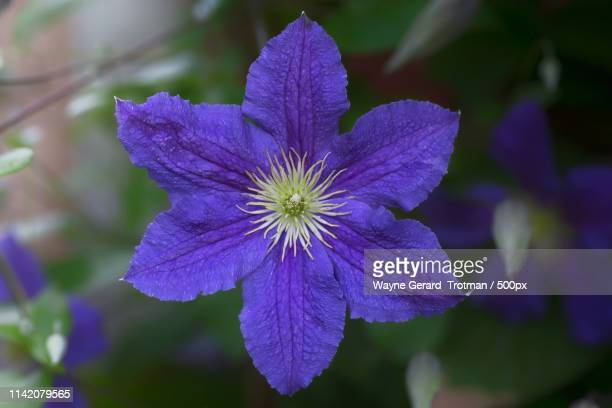clematis - wayne gerard trotman stock pictures, royalty-free photos & images