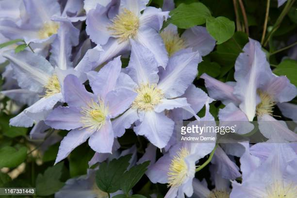 clematis - andrew dernie stock pictures, royalty-free photos & images