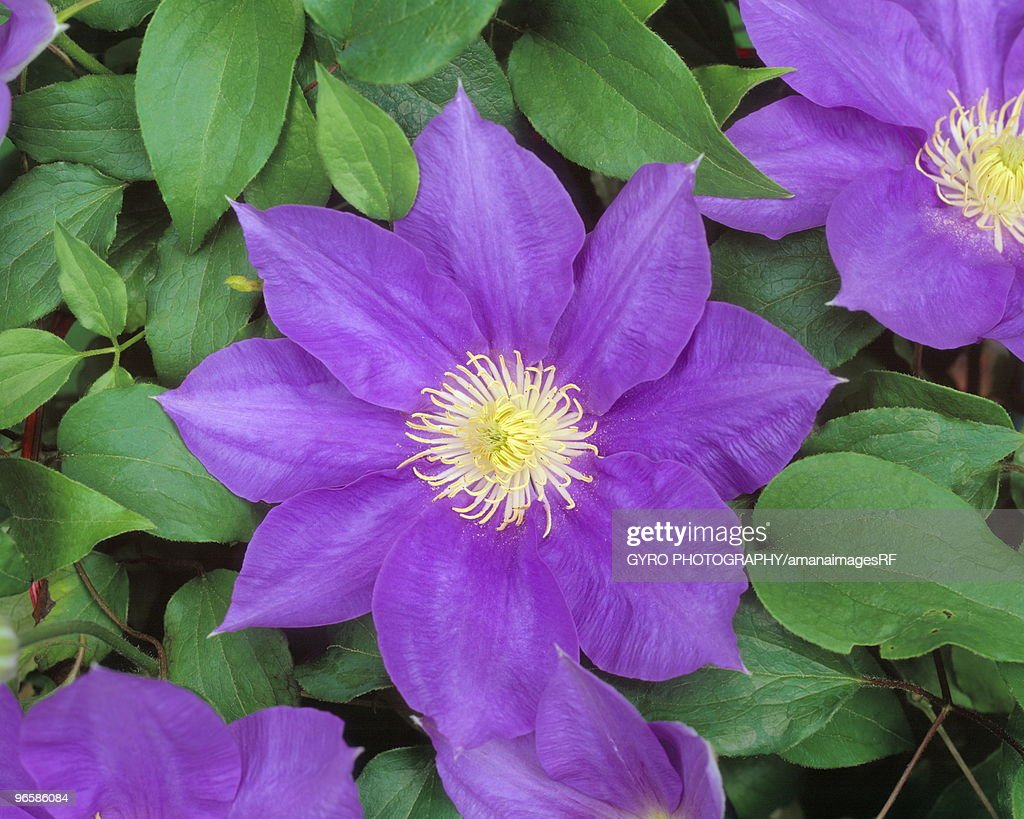 Clematis : Stock Photo