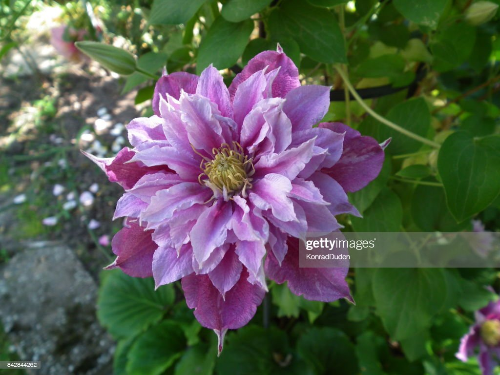 Clematis Piilu Purple White Flower Stock Photo Getty Images