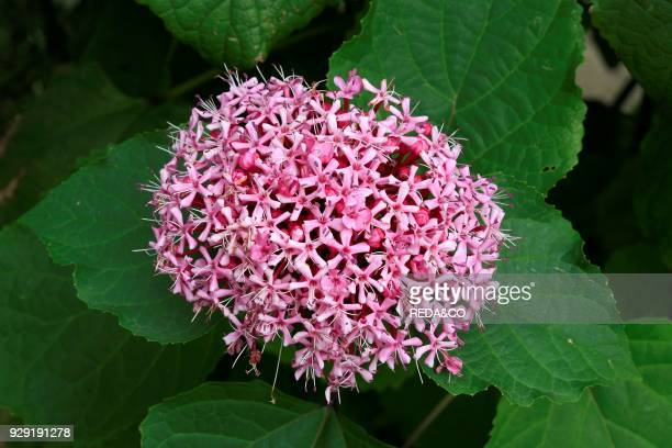 Clerodendrum Bungei Glory Flower