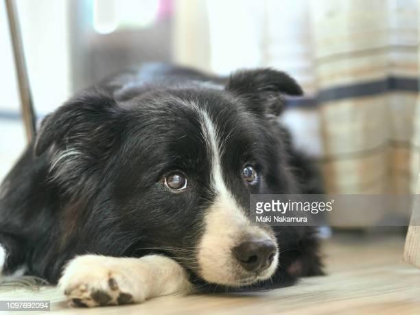 clever border collie dog is quiet in the house quietly - sfruttamento degli animali foto e immagini stock
