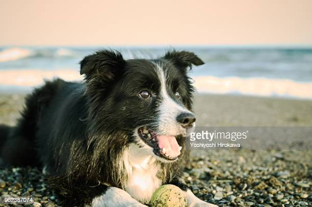 clever border collie sitting in the sand - border collie stock pictures, royalty-free photos & images